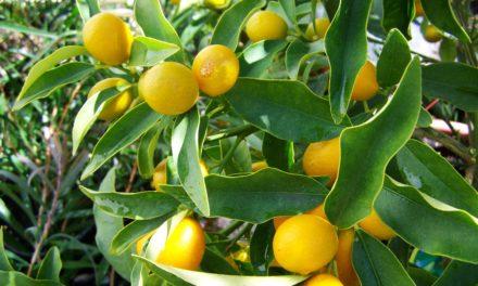 Découvrez le citron