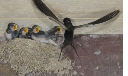 Quand l'hirondelle fait son nid, préservons son abri !