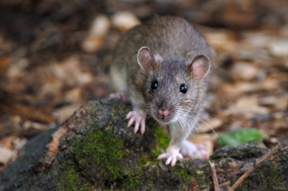 VIDEO : Qui est vraiment le rat brun, ce petit mammifère citadin ?