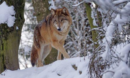 VIDEO : Le retour du loup : la coexistence pacifique est-elle possible ?