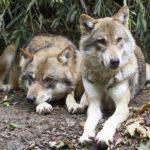 VIDEO : Le grand retour du loup