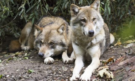 VIDEO : Le grand retour du loup