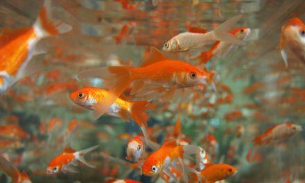 Podcast : Les poissons rouges ont-ils réellement… une mémoire de poisson rouge ?