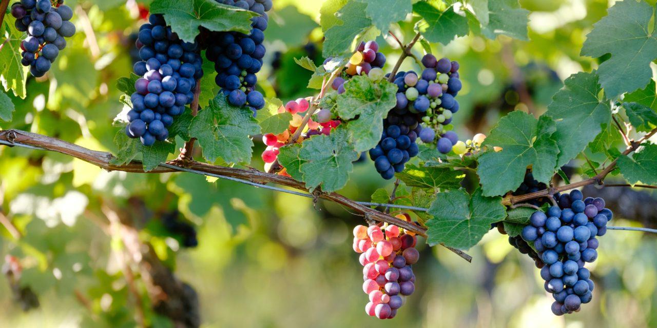 Et si on irriguait les vignes en recyclant l'eau ?