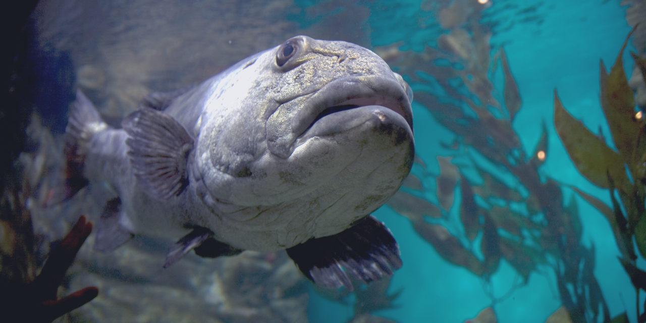 Toujours plus de CO₂ dans les eaux perturbe l'odorat et le comportement des poissons