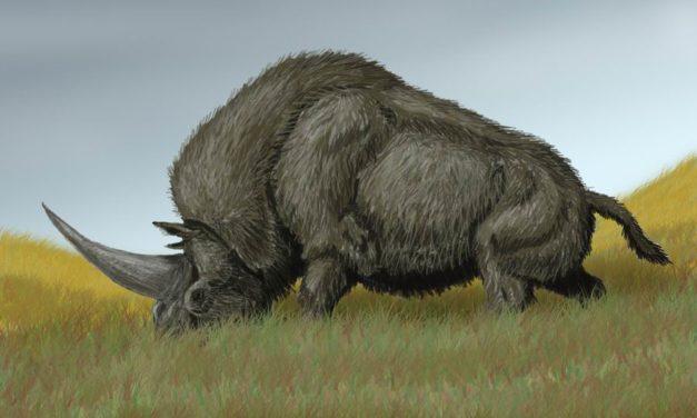 Qui était Elasmotherium, surnommé la « licorne de Sibérie » ?