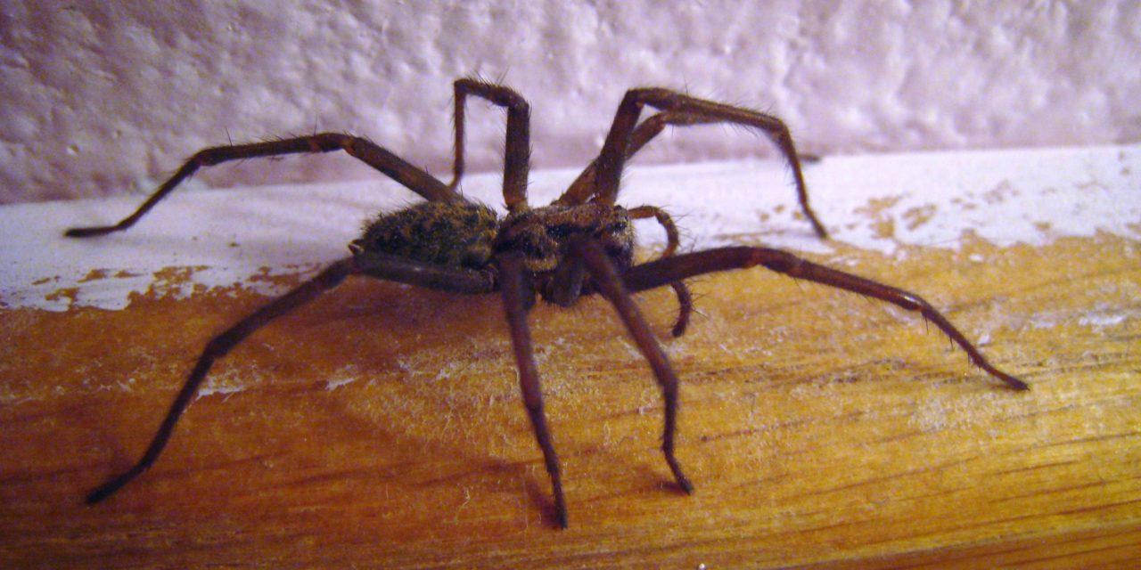 Parole d'entomologiste : laissez la vie sauve aux araignées de la maison !
