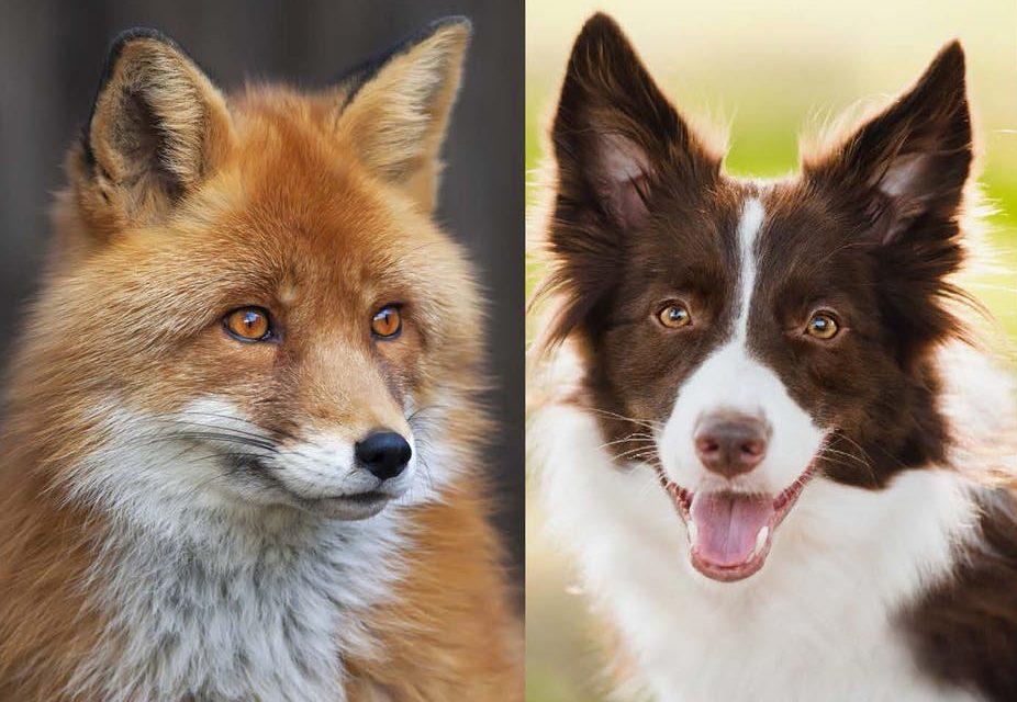 Renards et chiens, des cousins pas si lointains