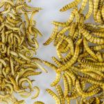 Pourquoi manger des insectes est bon pour nous… et pour la planète