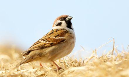 Des espèces d'oiseaux font face à l'extinction cent fois plus vite que prévu !