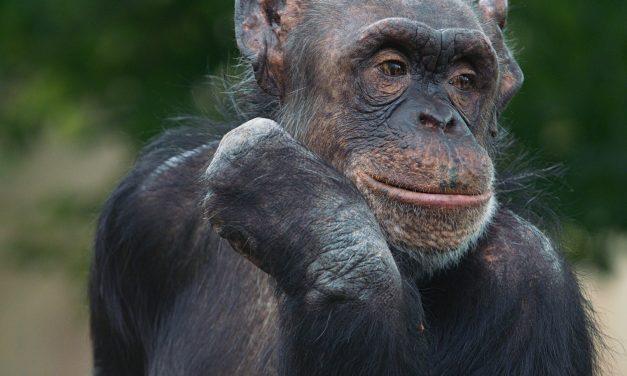 Comment les chimpanzés ont sauvé la forêt tropicale africaine