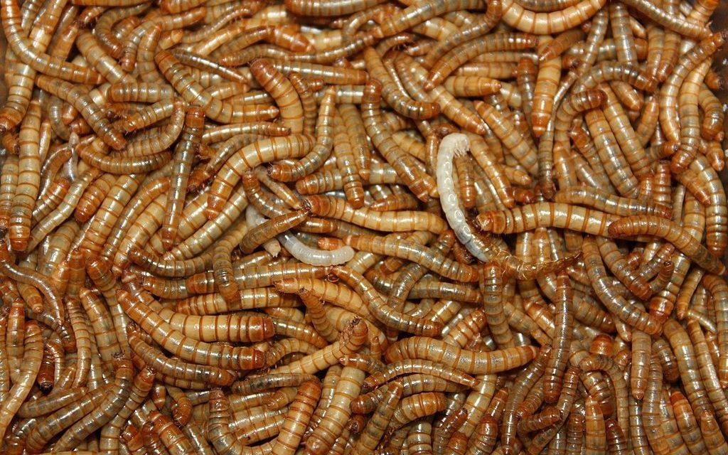 « Cultiver » des insectes, une solution durable pour assurer la sécurité alimentaire de l'humanité ?