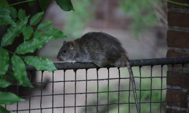 Pourquoi les rats font-ils les choux gras des médias ?