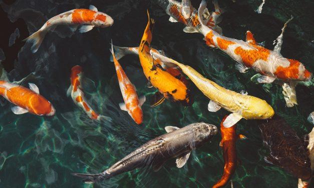 Amitiés, démence et impatience : les poissons nous ressemblent plus que nous croyons !